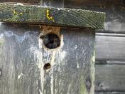Bees in birds nest box
