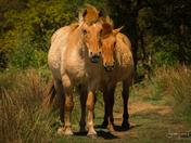 Konik Ponies at Hickling Broad