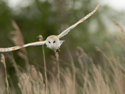 Barn Owl  head-on