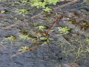 Mating Large Red Damseflies