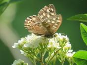 Speckledwood Butterfly