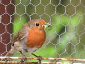 Robin , full beak for her second brood