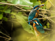 King fishers and young.