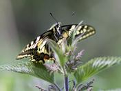 Swallowtail posing