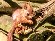 Red Squirrel Kittens