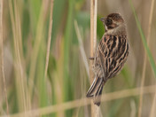 Female Reed Bunting.