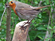 The friendly (and ubiquitous) garden robin