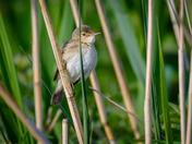 Reed Warbler at Strumpshaw
