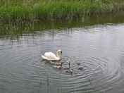 Swan and Cygnets Kirton