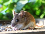 Wood mouse on the bird table