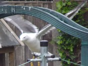 THE WINGSPAN OF A HERRING GULL