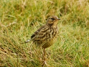 meadow pipit cley marsh