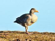 greylag goose cley marsh