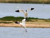 avocets cley marsh