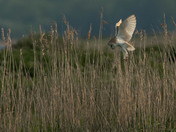 Barn Owl at Dusk.