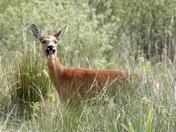 Roe deer on roydon common