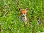 Fox in Layham