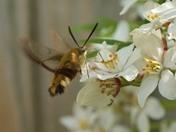 Broad Bordered Bee Hawk