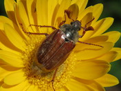 blind bee