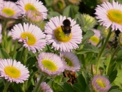 Bumblebee enjoying Nectar.