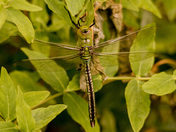 A Newly Emerged Male Emperor Dragonfly in Grove Park