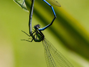 Damselflies mating and Ovipositing their Eggs into the Rockery pond