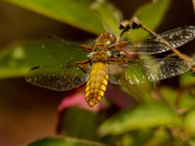 Female Broad bodied Chaser in Grove Park
