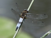 Male Scarce Chaser Dragonfly