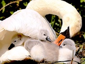 Happiness is looking after your brood.