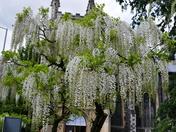 Wisteria Tree Full Of Perfume