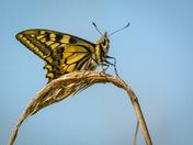 Strumpshaw Swallowtails