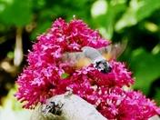 Humming bird moth on Valerian flowers.