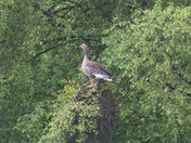 Goose up a tree