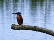 Strumpshaw Fen Kingfisher