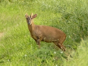 Muntjac on the farm.