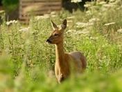 Roe deer hind on the farm.