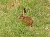 Leveret on the farm.
