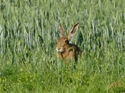 Hare eating wheat ears in the crop.