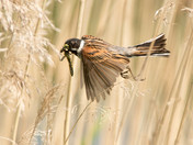 Reed Bunting in Flight