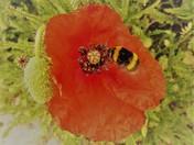 Poppy Bee.