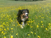 Rocky in the Buttercups at Mannings Pit