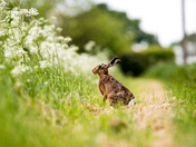 Path with Hare