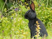 The most beautiful wild Rabbit in Bungay.