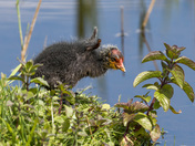 A Baby Coot
