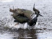 Juvenile Lapwing Bathing
