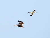 marsh harrier and avocet cley marsh