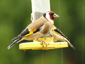 Raindrops on Goldfinch.