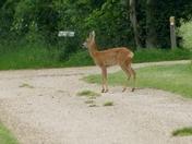 Deer on the public footpath.