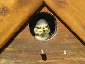 Blue Tit chicks leaving the nest box