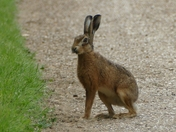 Brown hare on the run.